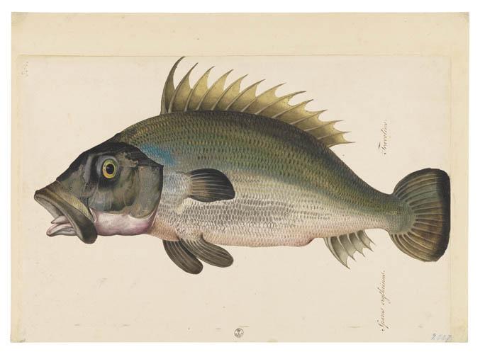 Jacopo LigozziTavole Naturalistiche – I Pesci - Cernia? (Epinephelus guazza)1577-1587 ca