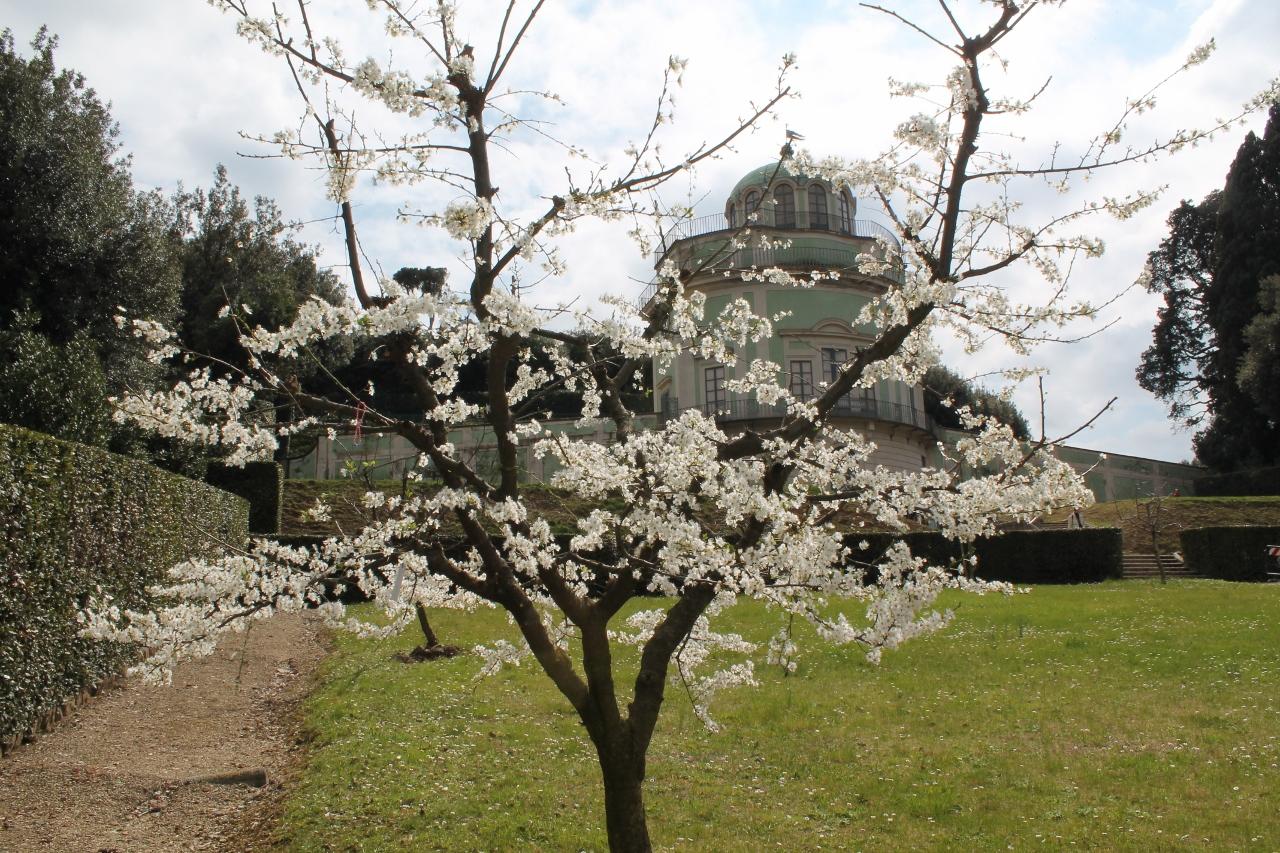 Albero da frutta nel Prato di Ganimede al Giardino di Boboli